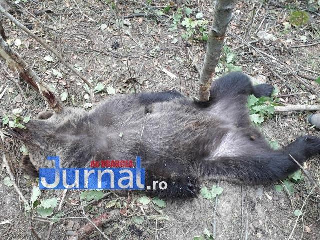 urs - UPDATE-ULTIMĂ ORĂ: Mobilizare de forţe la Nistoreşti pentru eliberarea unui urs prins în laţ