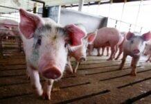 pesta-porcina-porc