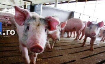 pesta porcina porc 356x220 - Jurnal de Vrancea
