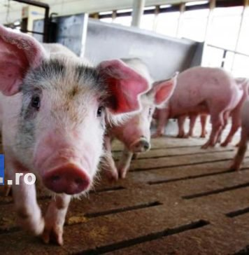 pesta porcina porc 356x364 - Jurnal de Vrancea