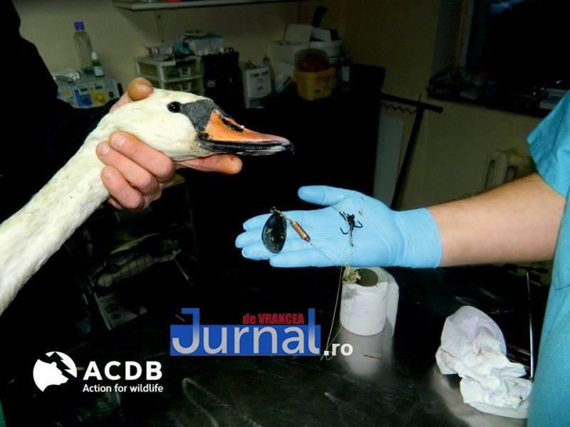 lebada braconieri3 - Șocant! Ce a pățit o lebădă din cauza braconierilor! Imagini cu IMPACT EMOȚIONAL