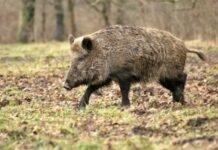 pesta la porci mistret 218x150 - Jurnal de Vrancea