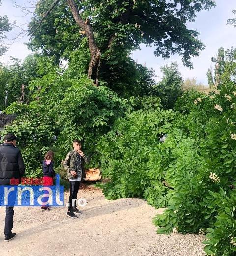 copac cazut focsani1 - PERICOL! Un arbore putrezit s-a rupt și s-a prăbușit în parcul central din Focșani