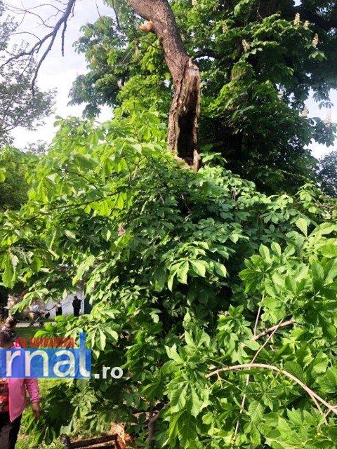 copac cazut focsani3jpg - PERICOL! Un arbore putrezit s-a rupt și s-a prăbușit în parcul central din Focșani