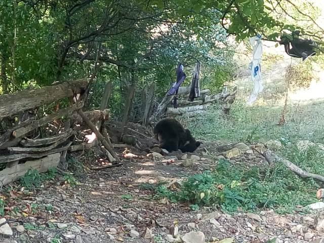 urs prins in lat2 - FOTO: Urs prins în laț, păzit de jandarmi 24 de ore